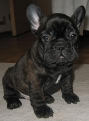 Продается щенок французского бульдога