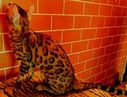 бенгальские котята для разведение и души