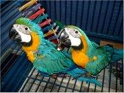 AСиний и золотой ара,  Свяжитесь с нами для получения дополнительной ин