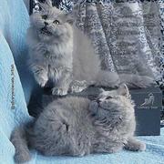 Котята британской породы длинношерстные голубые