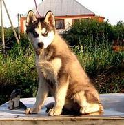 Cибирской хаски черно-белые щенки